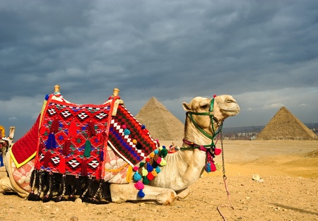Decorated camel in front of pyramid of Gizeh, Cairo, Egypt