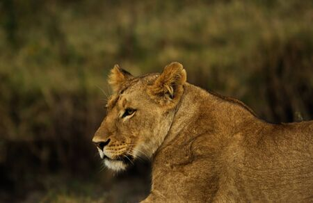 lioness in the wild,Africa, Kenya, Masai Mara