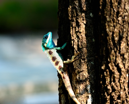 chameleon in nature photo