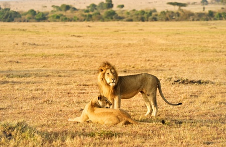 male and female lion  in Kanya photo