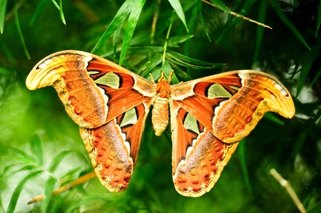 Atlas moth butterfly