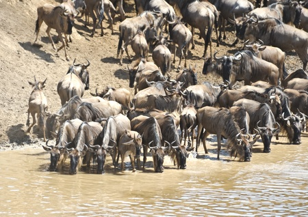 wildebeest migration, Masai Mara Game Reserve, Kenya Stock Photo