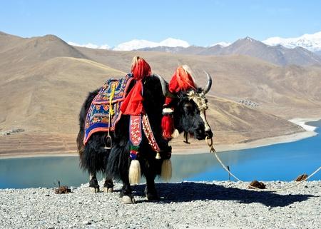 Tibetan yak Stock Photo - 11065712