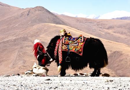Tibetan yak Stock Photo - 11541989