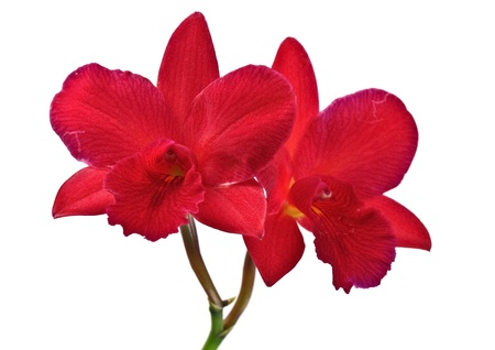 red orchid flowers Stock Photo