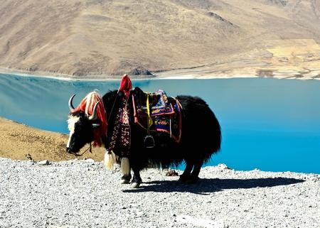 Tibetan yak photo