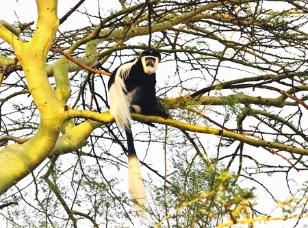 Colobus monkey photo