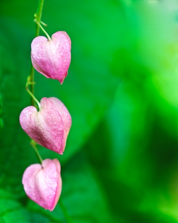 pink Coral vine flower Stock Photo
