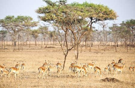 bright gazelles, Samburu game reserve, Kenya photo
