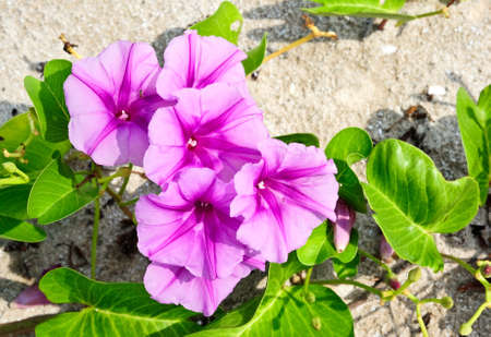 Purple flowers in sand on the beach