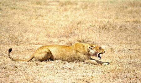lioness in the wild. Africa, Kenya, Masai Mara photo