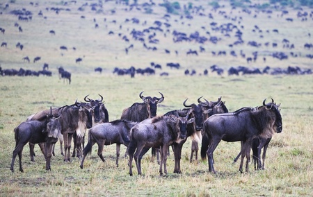 wildebeest migration, Masai Mara Game Reserve, Kenya photo