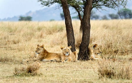 Three lioness in the wild. Africa. Kenya. Masai Mara