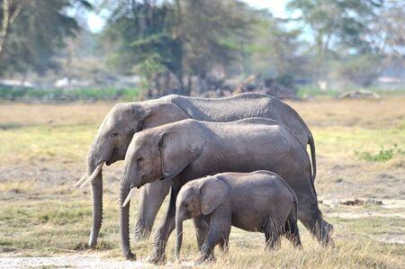 African elephant family photo