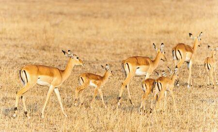 bright gazelles, Samburu Game Reserve, Kenya