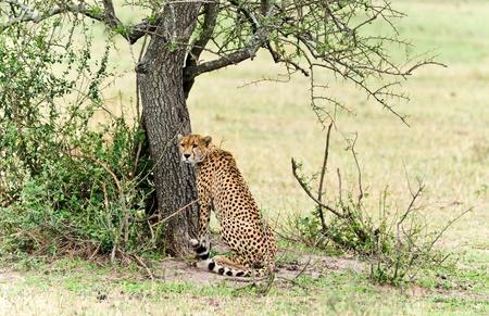 Cheetah Masai Mara Kenya Stock Photo - 12009785