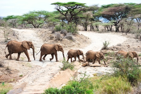wildlife reserve: African elephant in the wild,Tanzania