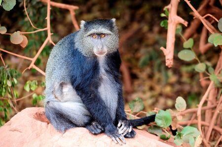 blue monkey Stock Photo - 12296067