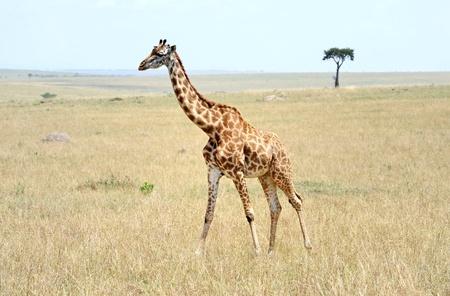Rothchild giraffe in Nakuru national park ,Kenya