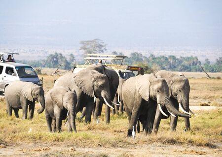 African elephant in the wild,Tanzania photo