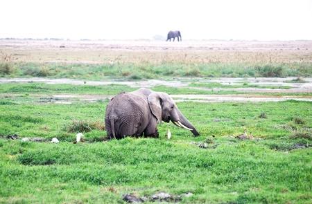 African elephant in the wild,Serengeti, Tanzania, Stock Photo - 12651399