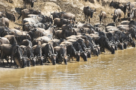 wildebeest migration, Kenya photo