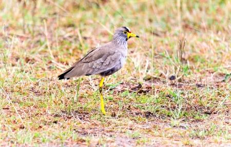lapwing: African Wattled Lapwing