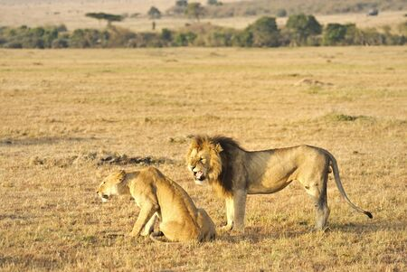male and female lion in Kenya photo