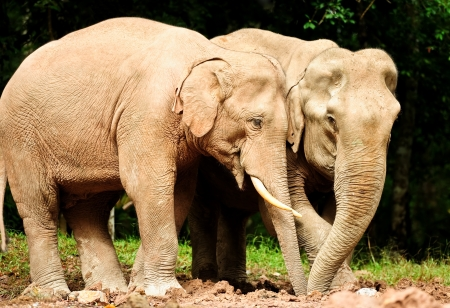 Asian elephants in wild,Thailand