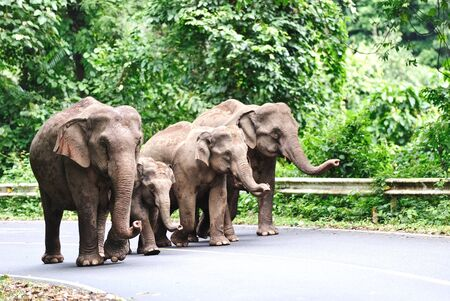 Asian elephant family in Khao Yai National Park,Thailand