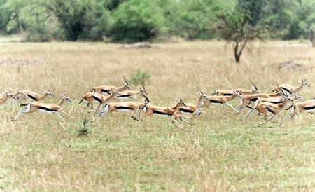 springbuck:  Springbuck Antelope running