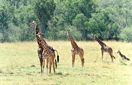 Wild giraffe with baby in Kenya photo
