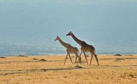 Wild giraffe in Kenya photo