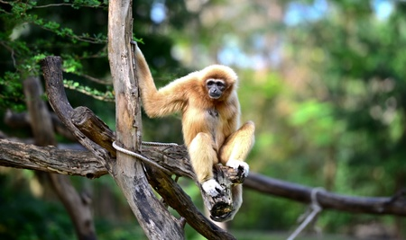 Gibbon in zoo photo