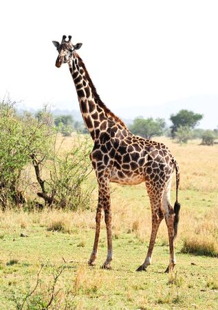 wild giraffe photo