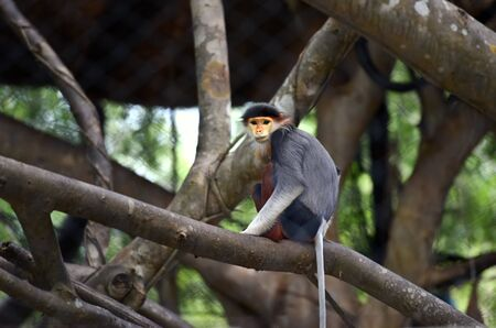 gray langur: Douc Langur monkey in the zoo