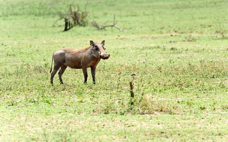 wild warthog photo