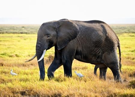African elephant Reklamní fotografie
