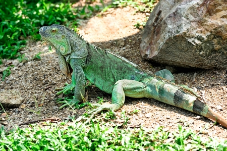 green iguana in zoo