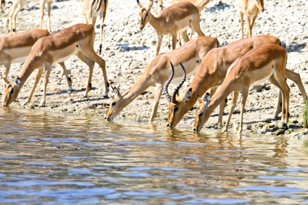 impala antelopes drinking,Safari,Africa photo