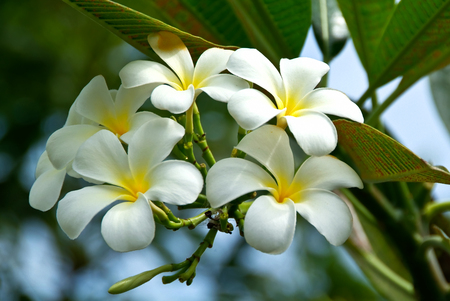 Plumeria alba flowers on blur  Stock Photo