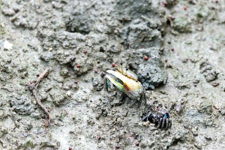 Fiddler crab in the mud just emerges from burrow , gulf of Thailand photo