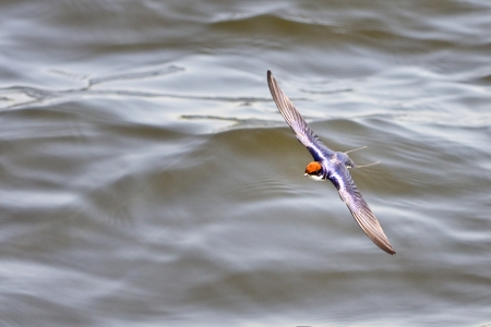 flying Swallow photo