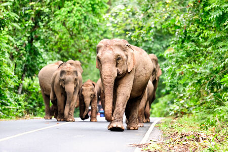 Family of Asian elephants