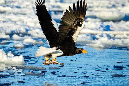 Steller s sea eagle attacks Stock Photo