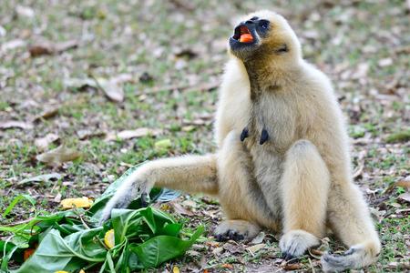 gibbon in zoo,Thailand