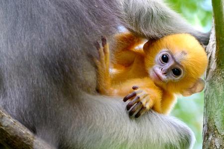 golden monkey,Thailand Stock Photo