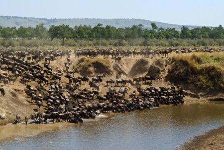 wildebeest photo
