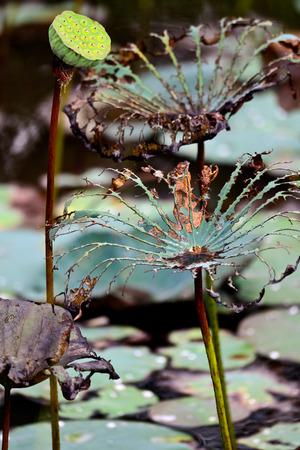 seedpod: lotus seedpod in the lake