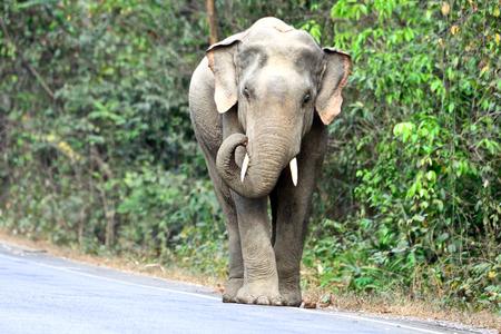 Aziatische olifant in het wild, Thailand